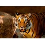 Puzzle  Grafika-Kids-00543 Magnetische Teile - Tiger