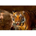 Puzzle  Grafika-Kids-00544 XXL Teile - Tiger