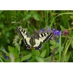 Puzzle  Grafika-Kids-01224 Schmetterling