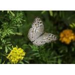 Puzzle  Grafika-Kids-01237 Magnetische Teile - Schmetterling