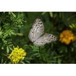 Puzzle  Grafika-Kids-01239 XXL Teile - Schmetterling