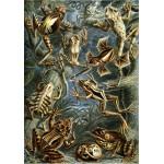 Puzzle  Grafika-00619 Ernst Haeckel: Les Batraciens, 1904