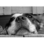 Puzzle  Grafika-01411 Hund