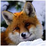 Puzzle  Heye-29747 Fox