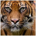 Puzzle  Heye-70173-29632 Tiger
