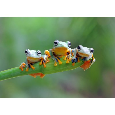 Puzzle Bluebird-Puzzle-70294 Friendly Frogs