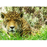 Puzzle  Grafika-Kids-00537 Jaguar