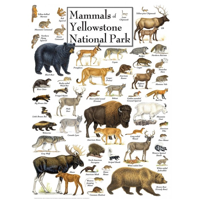 master-pieces-mammals-of-yellowstone-national-park