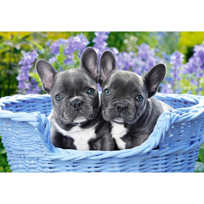 castorland-french-bulldog-puppies