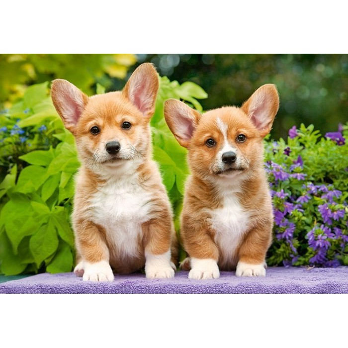 castorland-welsh-corgi-puppies