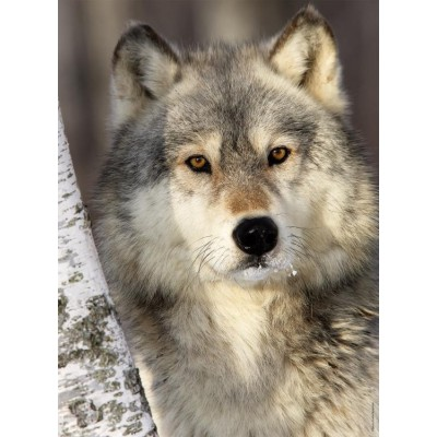 Puzzle Nathan-87142 Wolf